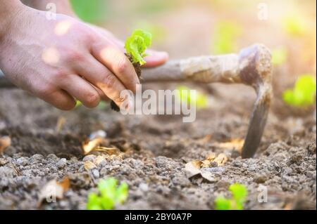 Farmer planting young seedlings of lettuce salad .  - Stock Photo