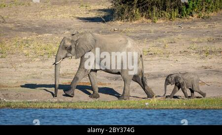 Landscape full body of elephant mother and her small baby walking in line by the edge of the Chobe River Botswana - Stock Photo