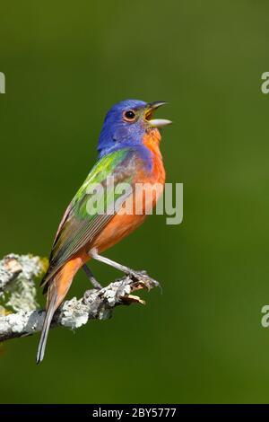 painted bunting (Passerina ciris), Adult summer plumaged male perched on a branch, USA, Texas, Galveston County - Stock Photo
