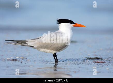royal tern (Thalasseus maximus, Sternea maxima), adult in breeding plumage standing on the beach, USA, Florida - Stock Photo