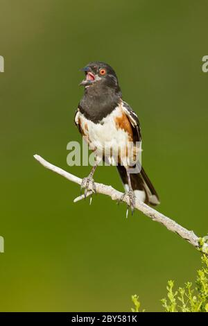 Spotted towhee (Pipilo maculatus), Adult male perched on a twig, singing its heart out, USA, California - Stock Photo