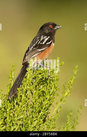 Spotted towhee (Pipilo maculatus), Adult male perched on a low bush, USA, California - Stock Photo