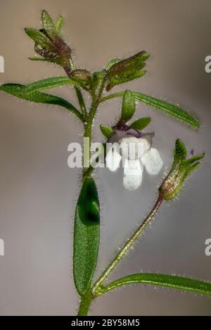 small toadflax, common dwarf snapdragon (Chaenorhinum minus, Chaenarhinum minus), flower , Germany, Bavaria - Stock Photo