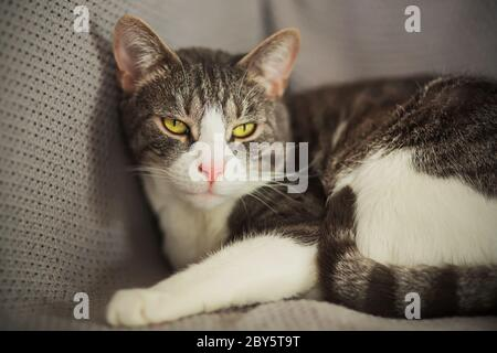 A cute tabby house cat lies on a knitted gray blanket and looks interested, illuminated by the light. Stock Photo