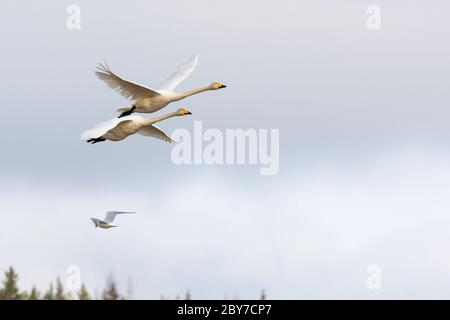 A couple of swans flying against cloudy sky - Stock Photo