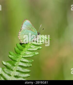 Green Hairstreak butterfly Callophrys rubi on bracken frond at Bin Combe on Exmoor Somerset UK - Stock Photo