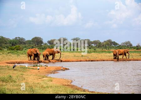 Some elephants are on the waterhole in the savannah