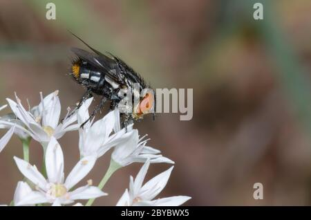 Tachinid Fly, Atacta brasiliensis, male foraging on Meadow Garlic, Allium canadense - Stock Photo