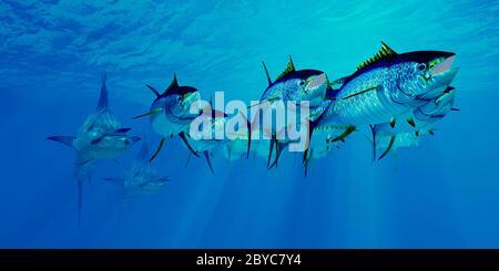 Predatory Blue Marlin chase after an undersea school of Yellowfin Tuna fish in the Atlantic ocean.