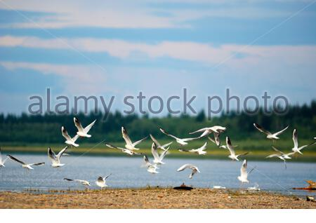 A flock of Northern white birds seagulls flies over the Bank of the river Viluy in Yakutia on the background of the taiga spruce forest under the blue - Stock Photo