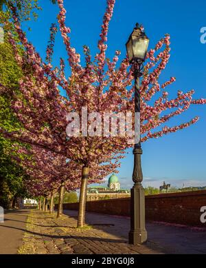Budapest, Hungary - Beautiful blooming pink japanese cherry trees and lamp post at Arpad Toth promenade in Castle District on a sunny spring afternoon - Stock Photo