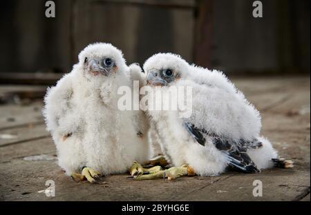 two Peregrine Falcon chicks (Falco peregrinus) after ringing, Heinsberg, North Rhine-Westphalia, Germany