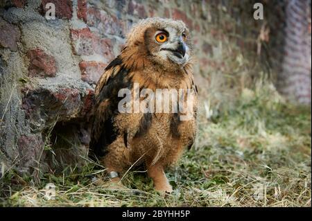 junger Uhu, Heinsberg, Nordrhein-Westfalen, Deutschland |juvenile Eurasian eagle-owl (Bubo bubo), Heinsberg, North Rhine-Westphalia, Germany| - Stock Photo
