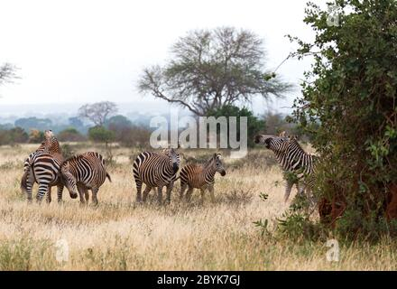 A lot of zebras are standing in the grass and between the trees