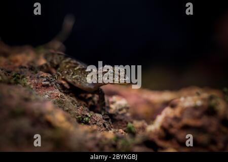 Dwarf Gecko, Cnemaspis species. - Stock Photo