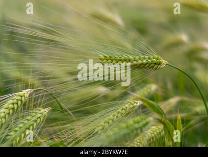 Green ears of wheat close up in a field with a bright green wheat background on a sunny day - Stock Photo