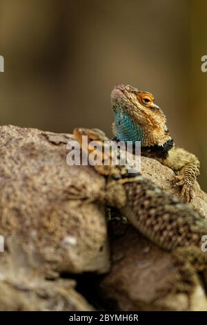 Two lizards on the rock- close up - Stock Photo