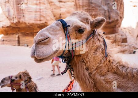 Bedouin camel rests near the treasury Al Khazneh carved into the rock at Petra, Jordan. Petra is one the New Seven Wonders of the World - Stock Photo