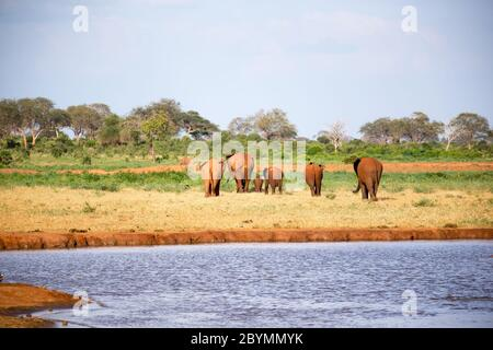 The large family of red elephants on their way through the Kenyan savanna