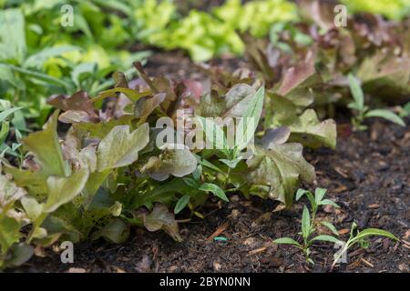 closeup of planted salads growing in a bed - Stock Photo