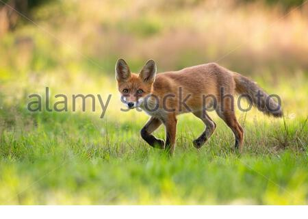 Playful red fox, vulpes vulpes, cub hunting on a green hay field in summer nature. Wild mammal with orange fur and big ears walking slowly with legs i - Stock Photo