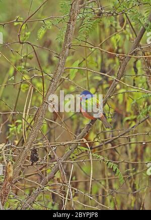 Painted Bunting (Passerina ciris) adult male perched on branch in the rain  Honduras      February 2016 - Stock Photo