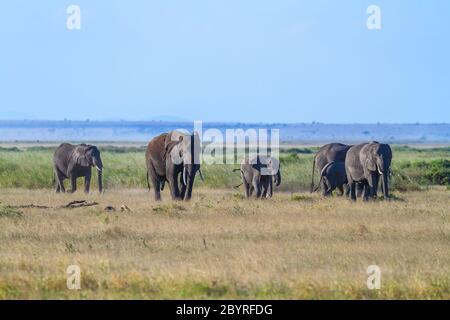 Elephant family walks on green grass savanna with blue sky and copy space in Amboseli National Park, Kenya, Africa. 'Loxodonta Africana' wildlife
