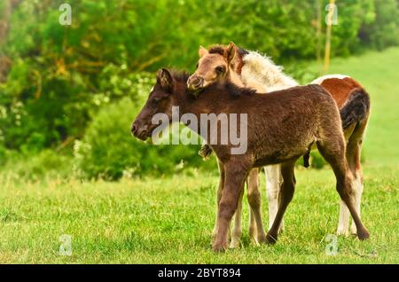 Two cute and awesome little foals of Icelandic horses, a black and a skewbald one, are playing and grooming together and practice social learning, int