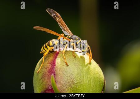 European paper wasp feeding on a peony on a dark background
