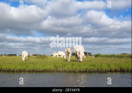 cattle on pasture by river