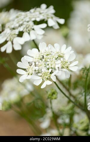 Orlaya grandiflora. white laceflower hardy annual white lace-like flowers - Stock Photo