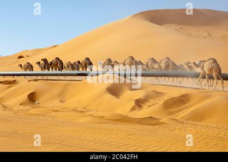 Camels walking on a track built by a oil exploration company beside an oil export pipeline the Sahara desert, North Africa. - Stock Photo