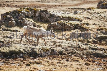 Reindeer in Eastern Iceland, walking the rocky landscape - Stock Photo