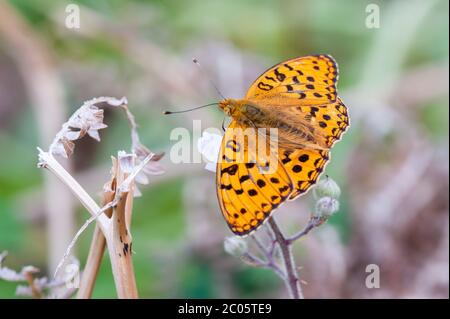High Brown Fritillary butterfly nectaring on bramble flowers - Stock Photo