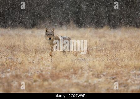 Wolf from Finland. Gray wolf, Canis lupus, in the early winter, on the meadow near forest. Wolf in the nature habitat. Wild. - Stock Photo