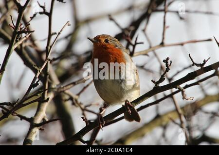 A European Robin (Erithacus rubecula), commonly known as the Robin Redbreast, in a tree in the Ayrshire countryside - Stock Photo