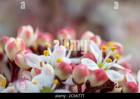 Close up of Japanese skimmia (skimmia japonica) flowers in bloom - Stock Photo