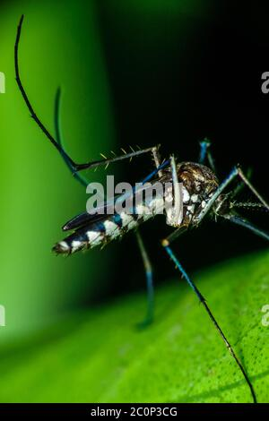 A male Aedes mosquito is sitting on top of a leaf and having a meal - Stock Photo