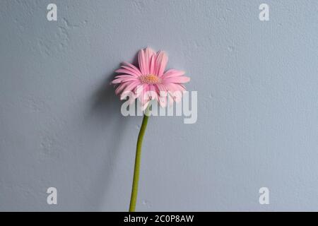 Pink flower on grey background.