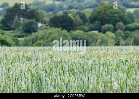 Ripening green wheat / Triticum crop in UK field & buildings behind. Food security, UK agriculture and farming, food growing in the field. Narrow DoF
