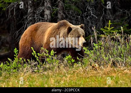 An adult grizzly bear 'Ursus arctos', foraging along a wooded area in rural Alberta Canada