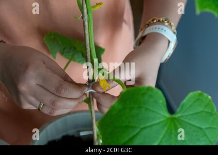 Staking cucumber plant, home gardening concept - Stock Photo