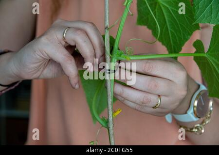 Staking cucumber plant, home gardenin concept - Stock Photo