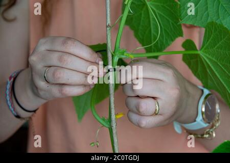Staking cucumber plant. Tying the cucumber plant a stick together. - Stock Photo
