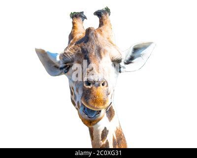 Giraffe head isolated on white background. Wild animal portrait. - Stock Photo