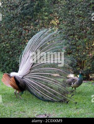 Peacock bird, the beautiful colorful bird in courtship with a female peacock present. Peacock bird displaying fold open elaborate fan with train shimm