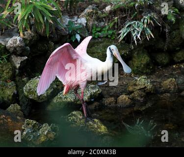 Roseate Spoonbill bird by the water standing on a rock with foliage background with spread wings with a in its environment and surrounding. Beautiful - Stock Photo