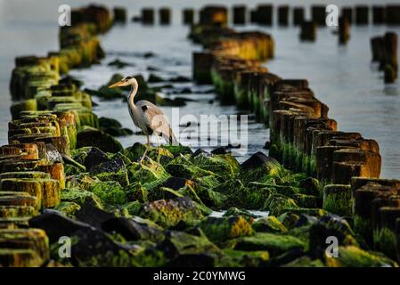 A grey heron (Ardea cinerea) sitting on rotten piles of the destroyed pier on the sea coast - Stock Photo