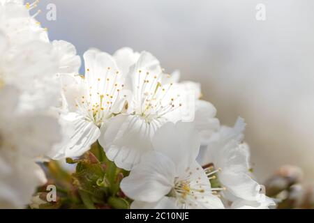 Detail of cherry tree springtime white flowers blooming - Stock Photo