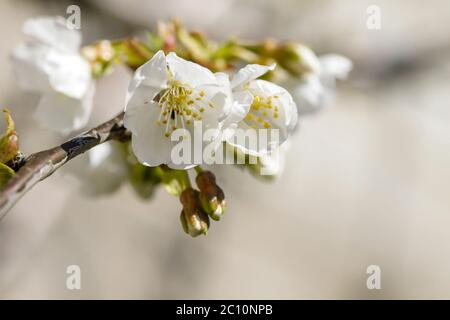 Detail of cherry tree white flowers blooming - Stock Photo